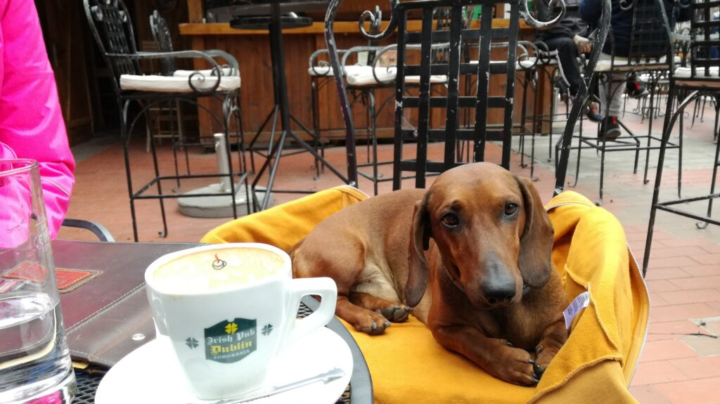 dachshund two