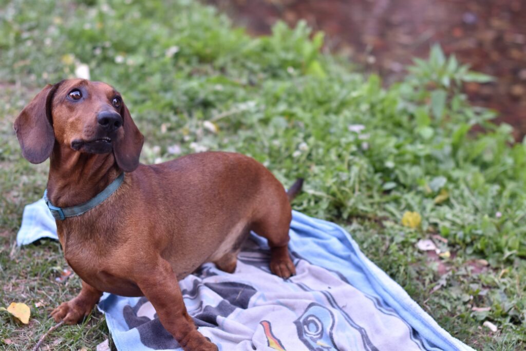 dachshund one